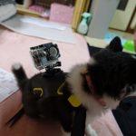 チワワにアクションカメラを装着!!する努力をしてみた・・・